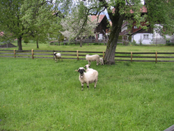 Sheep - Photo by Susan Gregg-Schroeder