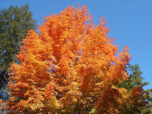 Kanuga Fall Tree - Photo by Susan Gregg-Schroeder