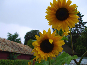 Sunflowers - Photo by Susan Gregg-Schroeder