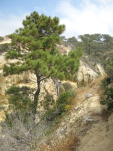 The Resilient Torrey Pine Tree